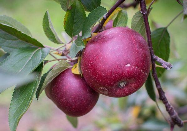 Средний вес яблока на момент технической спелости – 180 г