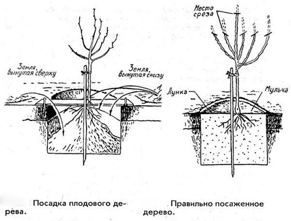 Схема посадки и обрезки яблони