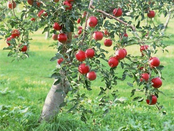 Популярный сорт яблони Медуница