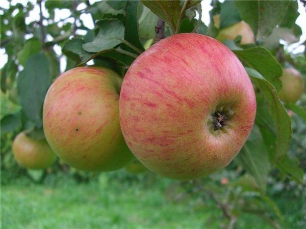 С одного дерева можно собрать до 180 кг яблок