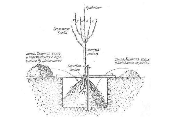 Схема правильной посадки яблони