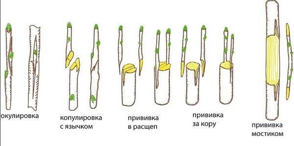 Основные способы прививки яблони и других деревьев