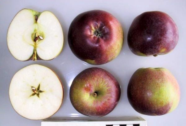 Плоды сорта Спартан весят около 140–180 г каждый