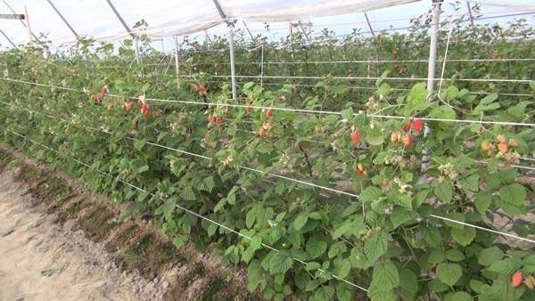 Выращивание малины в летней теплице