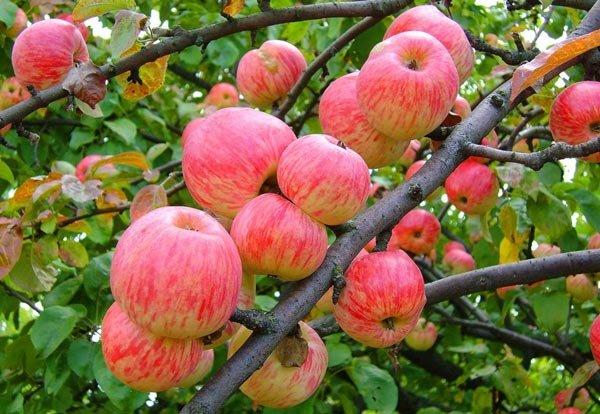 Сочные плоды яблони «Мельба»
