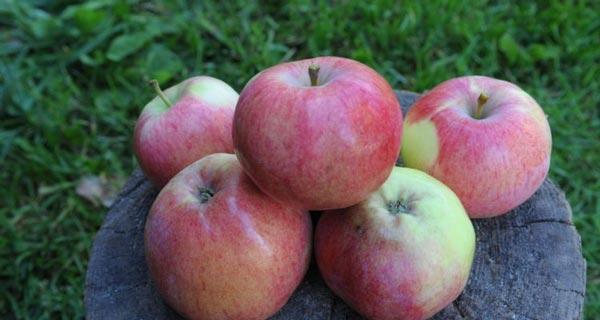 Яблоня «Мельба» не устойчива к морозам