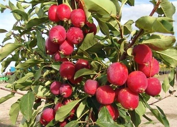 Сочные и вкусные райские яблочки