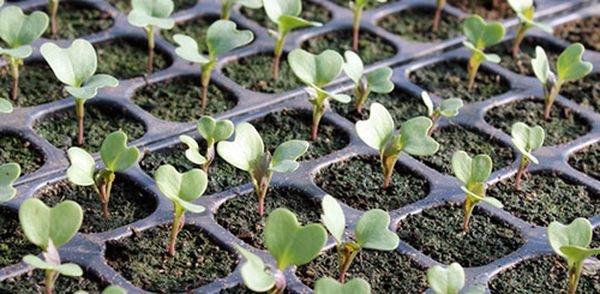 Рассаду высаживают в конце марта или в начале апреля