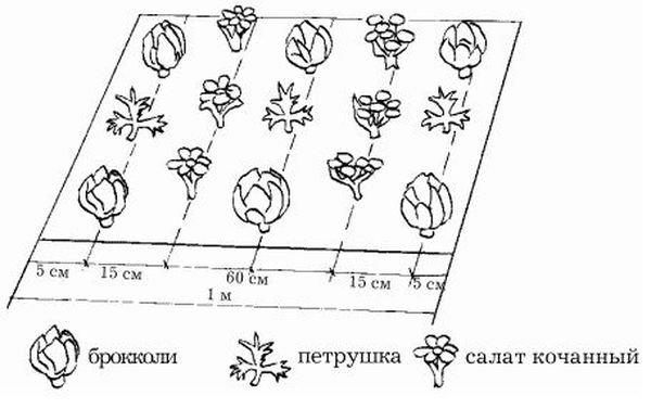 Схема посадки брокколи в грунт