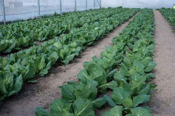 Выращивание брокколи в теплице