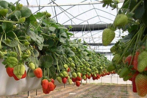 Выращивание клубники в теплице – прибыльный бизнес