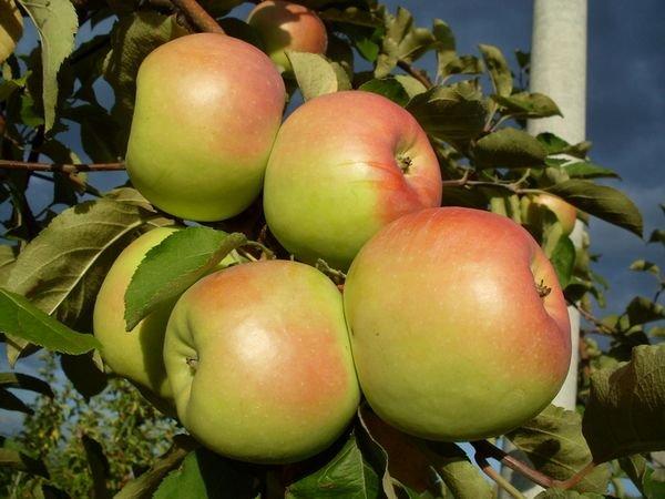 Средний вес плода составляет 150 г