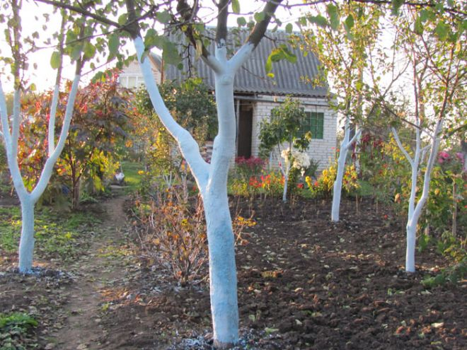 Побелка абрикоса – один из этапов подготовки к зиме
