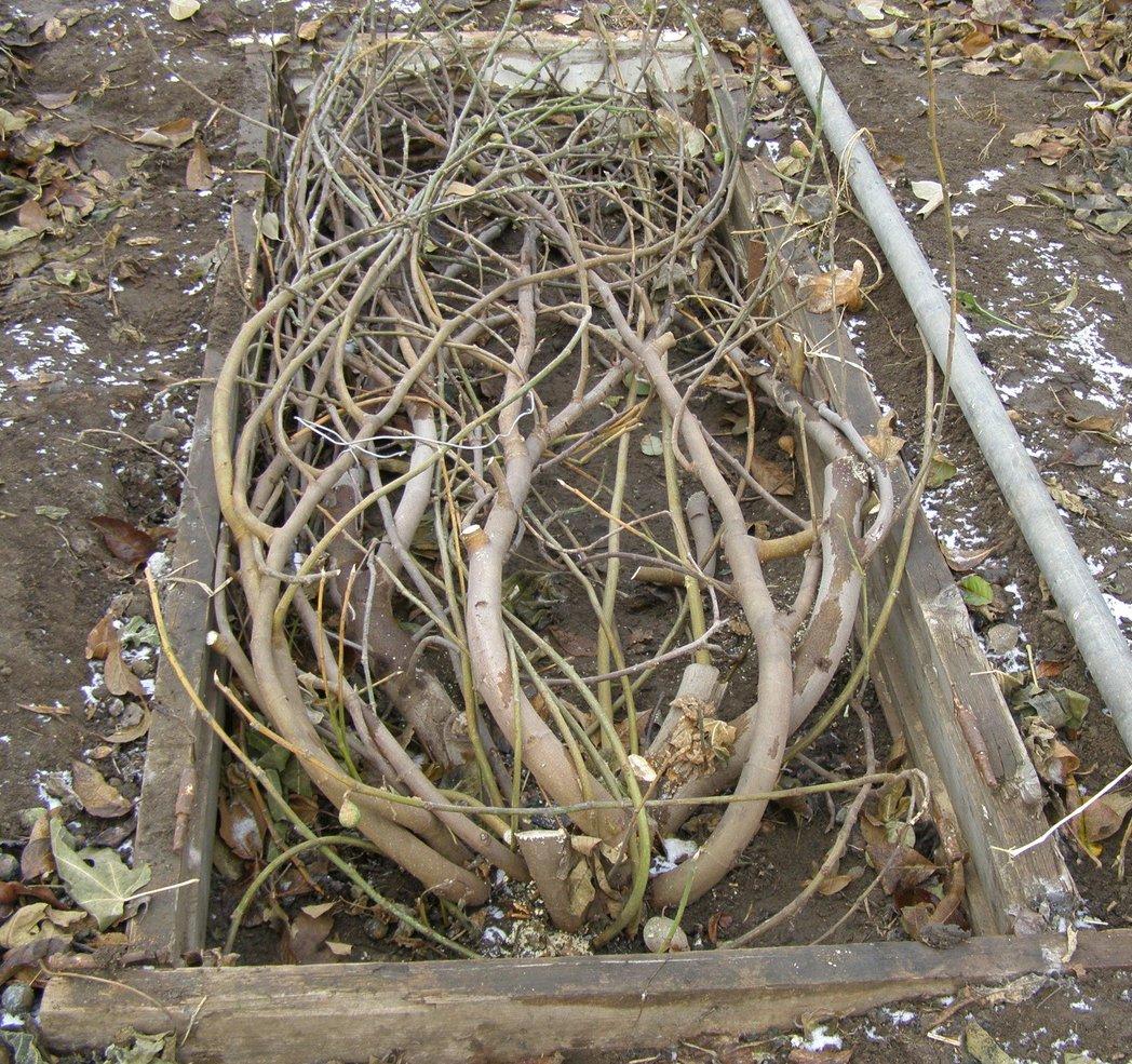 Укладка веток фигового дерева на землю