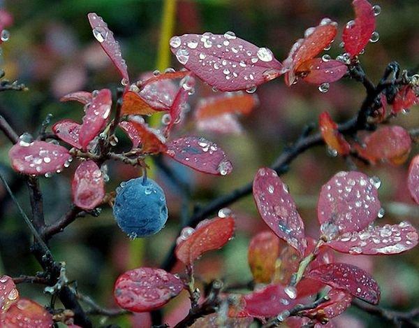 Голубика – садовая родственница черники