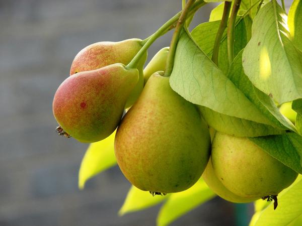 Чем обработать грушу от болезней: весной и осенью, видео и фото