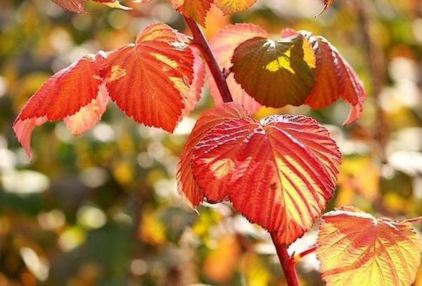 Осенью малину нужно подготовить к зимовке