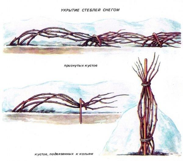Схема укрытия малины на зиму