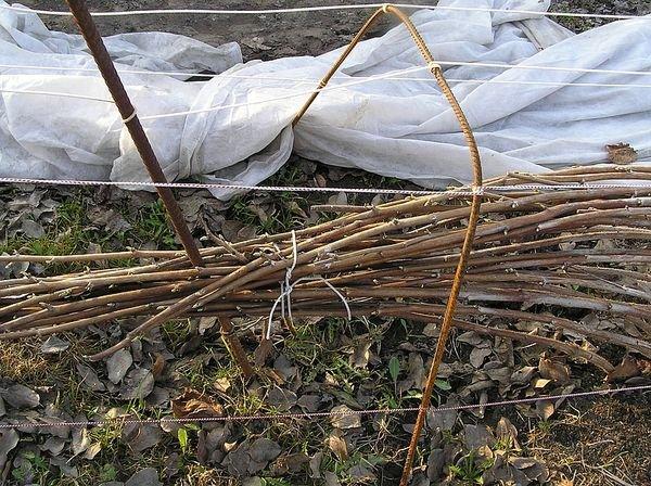 Стебли малины нужно обязательно укрывать и пригибать