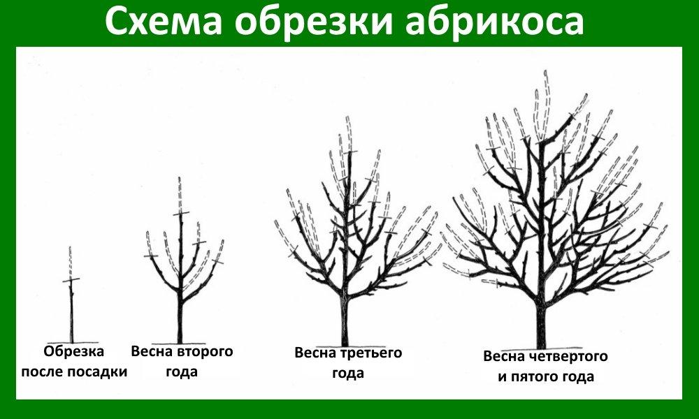 Схема обрезки абрикосового дерева