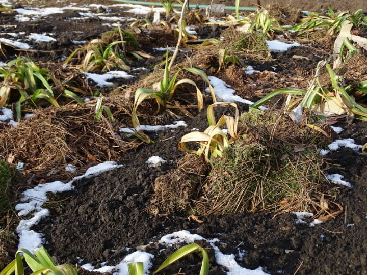 Зимовка лилейников под слоем мульчи