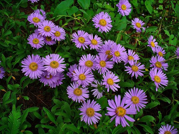 Альпийская астра неприхотлива и сочетается с другими растениями