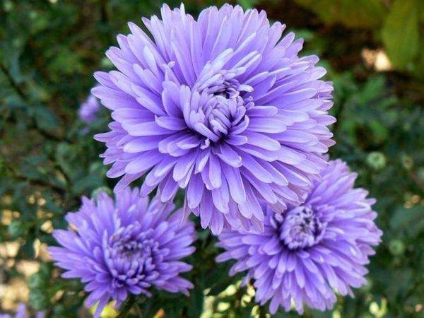 Новобельгийская астра - неприхотливое растение