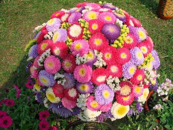 Астру можно встретить практически в каждом саду