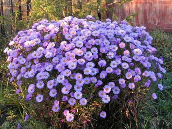 Новоанглийские сорта обладают пышным цветением