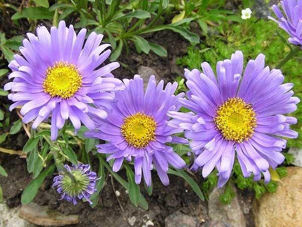 Тибетские разновидности отличаются обильным цветением