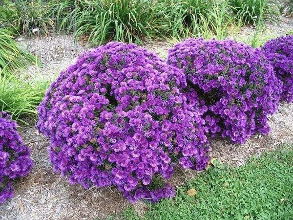 Многолетняя астра - украшение сада