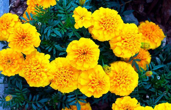 Популярный сорт Лимонная капля