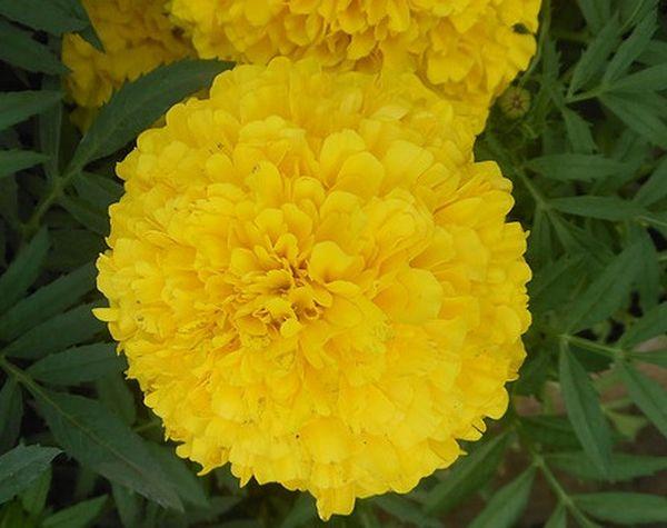 Тайшан Еллоу имеют густые цветки