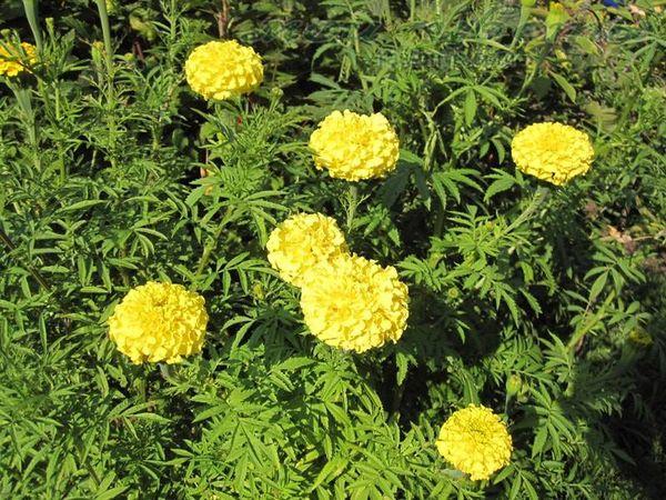 Лимонный принц образует высокие, довольно плотные кусты