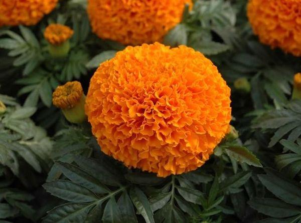 Гавайи – сорт с очень крупными махровым цветением