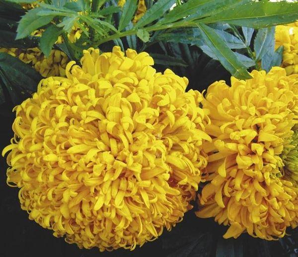 Сорт Гильбер Штейн отличается золотистым соцветием