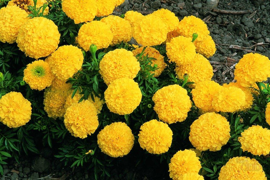 Многолетние садовые культуры с махровыми соцветиями
