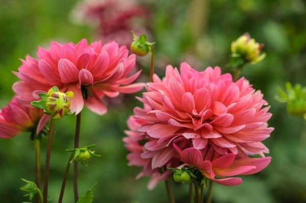 Георгины – цветы семейства Астровые