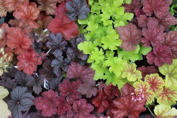 Гейхера – довольно морозоустойчивое растение