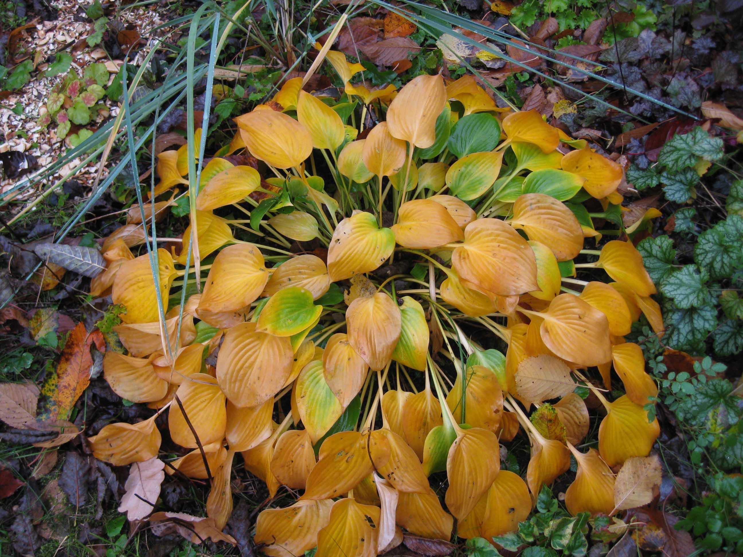Мульчирование корневища на зиму отмирающей листвой