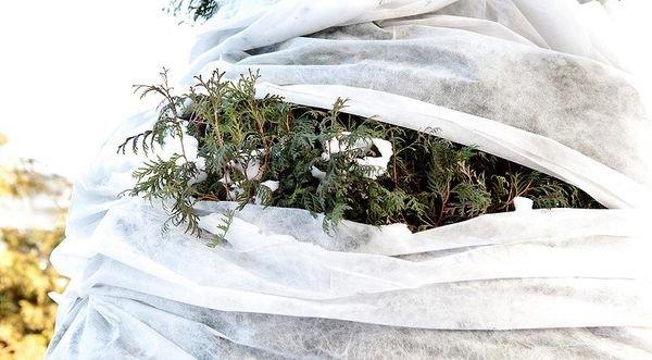 Чрезмерное укутывание может лишь навредить растению