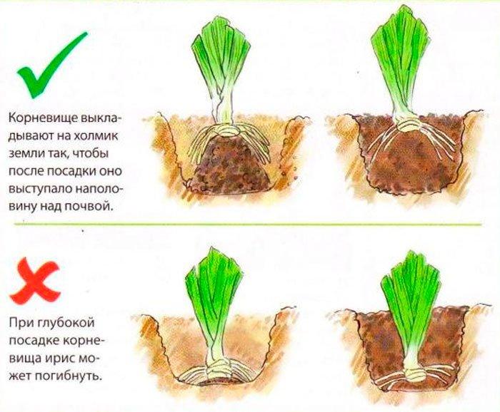 Схема посадки садового ириса