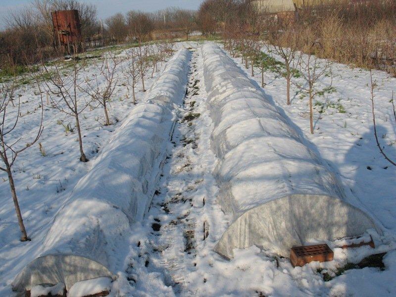 Укрытие цветущих садовых культур на зиму