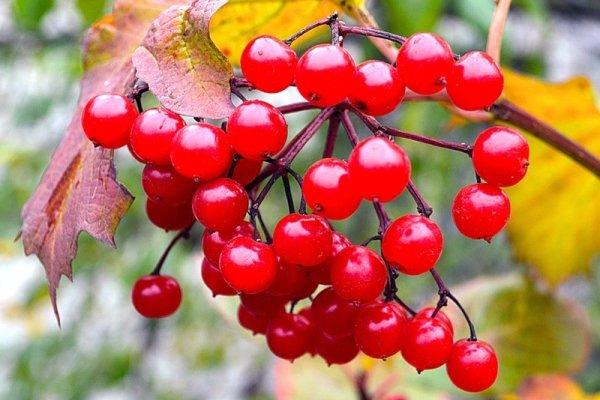 Осень – время сбора ягод для зимних заготовок