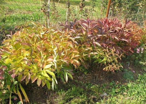 Осенью пионы подготавливают к зимовке