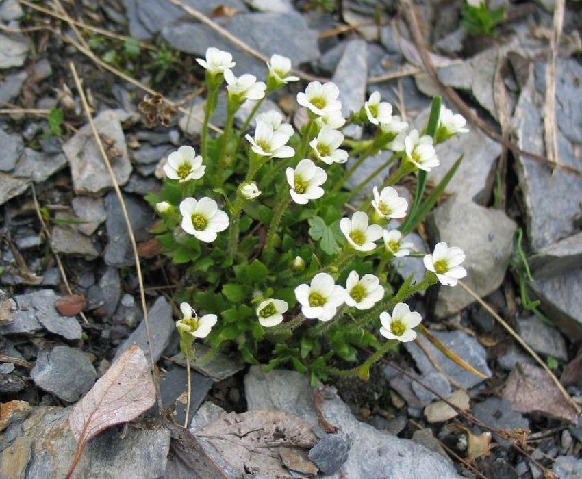 Нежные мелкие цветы камнеломки трогательно выглядят на фоне камней