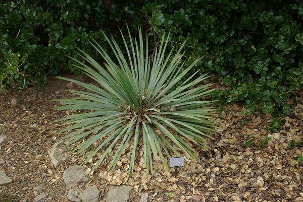 Сизая юкка имеет листья длиной около метра и короткий ствол