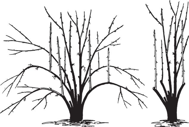 Подготовка чубушника к зиме в сибири