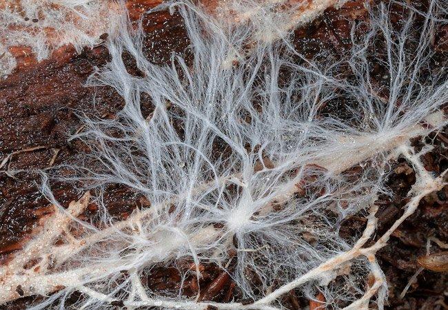 Мицелий – это основа с грибными спорами