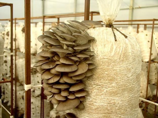 В мешках с питательным субстратом можно выращивать вешенки